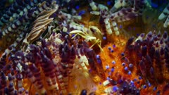 Brooks Urchin Shrimp (Allopontonia brockii) With tiger Zebra Urchin Crab (Zebrida adamsii). 1 of 4