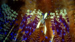 Brooks Urchin Shrimp (Allopontonia brockii) 4 of 4