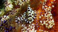 Coleman Shrimp (Periclimenes colemani) 1 of 8