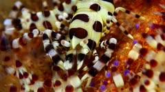 Coleman Shrimp (Periclimenes colemani) 2 of 8