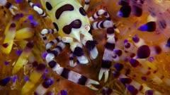 Coleman Shrimp (Periclimenes colemani) 6 of 8