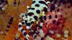 Coleman Shrimp (Periclimenes colemani) 8 of 8