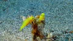 Pair of Yellow Pigmy Gobies (Lubricogobius exiguus) Popping in and out of empty tube anenome.  2 of 2