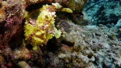 Warty Frogfish yawns (Antennarius maculatus)