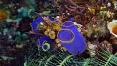 Amphipod in Purple Tunicate (4 of 4)