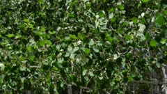 Quaking Aspen closeup of leaves (Populus tremuloides)  1 of 12