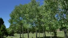 Quaking Aspen (Populus tremuloides)  2 of 12