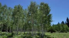 Quaking Aspen (Populus tremuloides)  4 of 12