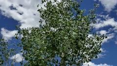 Quaking Aspen Closeup of leaves (Populus tremuloides)  5 of 12