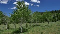 Quaking Aspen (Populus tremuloides)  6 of 12