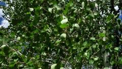 Quaking Aspen Closeup of leaves (Populus tremuloides)  7 of 12
