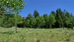 Quaking Aspen (Populus tremuloides)  8 of 12