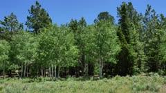 Quaking Aspen (Populus tremuloides)  9 of 12