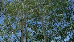 Quaking Aspen Closeup of leaves (Populus tremuloides)  11 of 12