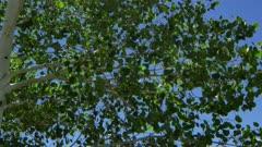 Quaking Aspen Closeup of leaves (Populus tremuloides)  12 of 12