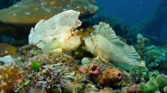 Leaf Scorpionfish (Taenianotus triacanthus) pair (2 of 2)