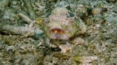 Stonefish (Synanceia horrida) Walks  (2 of 2)