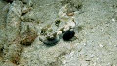 Crab-eyed Goby (Signigobius biocellatus) eats (3 of 5)