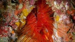 Electric Flame Clam (Ctenoides ales) (2 of 2)