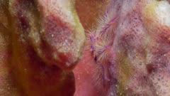 Hairy squat lobster (Lauria slagiani) (1 of 4)