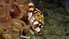 Harlequin Swimming Crab (Lissocarcinus laevis) eats what Tube Anemone (Cerianthus filiformis) catches (5 of 7)