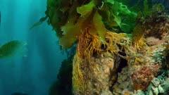 Giant Kelp holdfast (Macrocystis pyrifera) 1 of 4