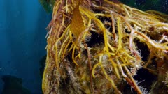 Giant Kelp holdfast (Macrocystis pyrifera) sea urchin inside (2 of 4)