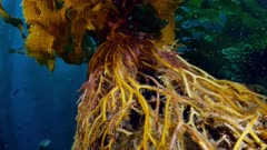 Giant Kelp holdfast (Macrocystis pyrifera) sea urchin inside (4 of 4)