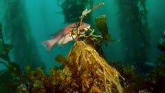 Giant Kelp holdfast (Macrocystis pyrifera) kelp gone