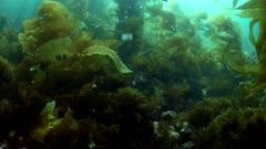 Giant Kelp Forest (Macrocystis pyrifera) Traveling through (2 of 6)