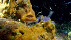 Frogfish Eating (Antennarius) 1 of 5