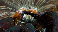 Harlequin Swimming Crab (Lissocarcinus laevis) eating food off of an anemone (Actinostephanus haeckeli) 2 of 4