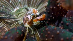 Harlequin Swimming Crab (Lissocarcinus laevis) eating food off of an anemone (Actinostephanus haeckeli) 4 of 4