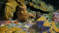 Frogfish (Antennarius) using lure and eating (2 of 5)