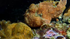 Frogfish (Antennarius) using lure and eating (3 of 5)