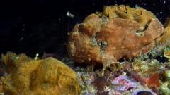Frogfish (Antennarius) using lure and eating (4 of 5)