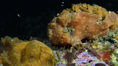 Frogfish (Antennarius) using lure and eating (5 of 5)