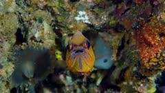 Ring tailed cardinalfish (Ostorhinchus aureus) brooding eggs (2 of 5)