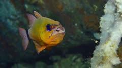Ring tailed cardinalfish (Ostorhinchus aureus) brooding eggs (5 of 5)