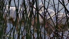 American White Pelican (Pelecanus erythrorhynchos) group feeding