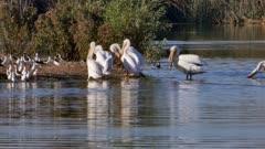 American White Pelican (Pelecanus erythrorhynchos) group
