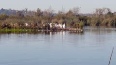 American White Pelican (Pelecanus erythrorhynchos) group  group