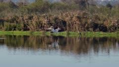 American White Pelican (Pelecanus erythrorhynchos) lands