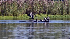 Cormorant (Phalacrocoracidae) group (1 of 2)