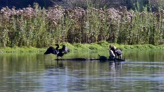 Cormorant (Phalacrocoracidae) group (2 of 2)