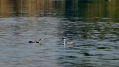 Western Grebe (Aechmophorus occidentalis) feeds juvenile