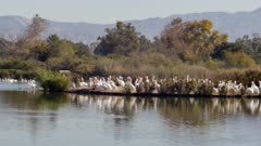 American White Pelican (Pelecanus erythrorhynchos) group on island