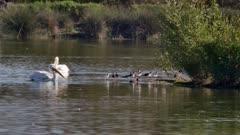 American White Pelican (Pelecanus erythrorhynchos) stand up
