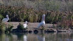 American White Pelican (Pelecanus erythrorhynchos) walking