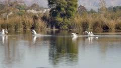American White Pelican (Pelecanus erythrorhynchos) landing